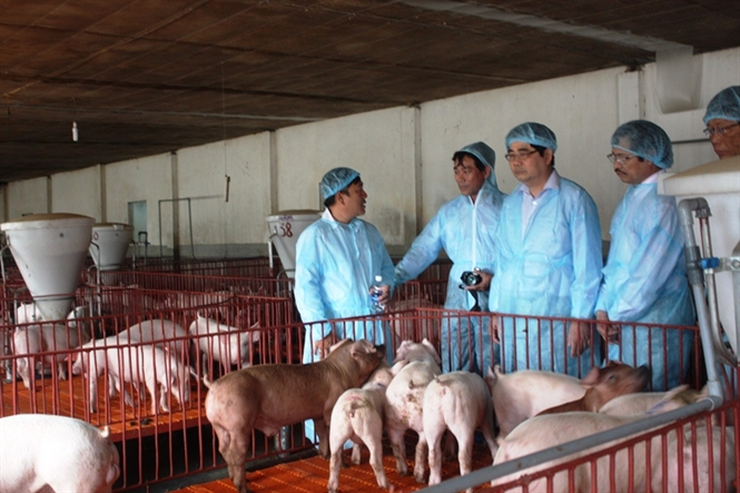 chăn nuôi heo an toàn vietgap